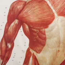 Anatomía detalle