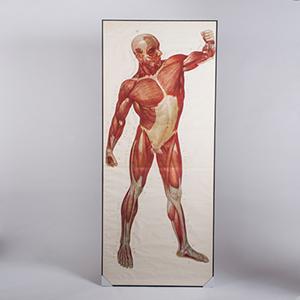 anatomia 300 2